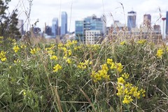 Calgary Wild flowers (John Andersen (JPAndersen images)) Tags: trees calgary yellow bench spring path buffalobean skyline2016