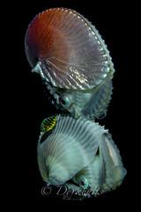 IMG_5745 (nealmoc) Tags: hawaii bigisland blackwater kona nautilus cephalopod kailuakona underwaterphotography papernautilus