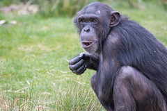 Chimpanzee 2016-04-06-0021 (BZD1) Tags: nature animal mammal natuur pan chimpanzee beeksebergen primates pantroglodytes chimpansee chordata synapsida hominidae commonchimpanzee hominini haplorhini
