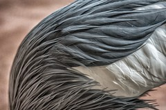 Feather Detail - Toronto Zoo (KWPashuk) Tags: toronto ontario canada detail bird animal nikon crane wildlife feathers torontozoo d7200 tamron150600mm kwpashuk kevinpashuk