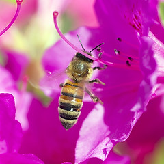Honeybee around Azalea (Johnnie Shene Photography(Thanks, 2Million+ Views)) Tags: wild people colour macro nature animal closeup canon bug insect square lens photography eos rebel living flying still focus scenery kiss natural image outdoor no wildlife flight scenic tranquility scene 11 korea full bee midair azalea magnified flapping length tamron 90mm honeybee f28 adjustment freshness stationary foreground paju t3i x5 organism hymenoptera behaviour fragility 곤충 접사 hymenopteran 600d 벌 꿀벌 진달래