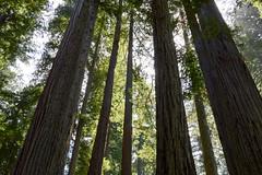DSC_5118.jpg (Hip Like Junk) Tags: california redwoods ladybirdjohnsongrove