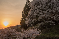 33Butsuryuji Temple (anglo10) Tags: sunset japan cherry temple