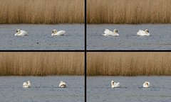 Dancing swans (Steve Balcombe) Tags: uk bird swan dancing somerset mute levels cygnus olor westhaymoor avalonmarshes