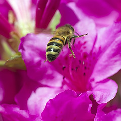 Honeybee in Flight (Johnnie Shene Photography(Thanks, 2Million+ Views)) Tags: wild people plant flower colour macro nature floral animal closeup canon bug insect square lens wonder photography eos rebel fly flying still interesting wings flora kiss view natural image outdoor no wildlife rear flight 11 korea full bee korean theme midair azalea limbs magnified flapping awe length tamron 90mm viewpoint honeybee f28 adjustment freshness stationary t3i x5 hymenoptera behaviour 비행 fragility hymenopteran 600d 벌 꿀벌 진달래 날개짓
