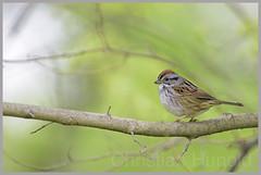 swamp sparrow (Christian Hunold) Tags: bird philadelphia bokeh sparrow songbird johnheinznwr swampsparrow sumpfammer christianhunold