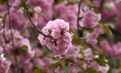 same tree, different lens (Dotsy McCurly) Tags: pink flower tree nature beautiful nikon dof bokeh 300mm d750 japanesefloweringcherry kwanzanfloweringcherry
