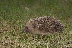 Ourio cacheiro - European hedgehog (Erinaceus europeus), em NF37-Trofa (joelcsilva) Tags: nightphotography portugal nature photography wildlife natureza nocturna fotografia vidaselvagem trofa ouriocacheiro europeanhedgehog canon40d erinaceuseuropeus joelsilva