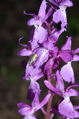 orchis mascula (luka116) Tags: fleur suisse branson avril valais orchis 2016 orchismascula follateres lesfollateres