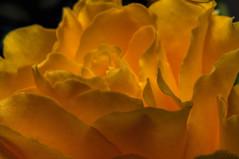 Orange (fs999) Tags: flower macro fleur paintshop pentax sigma paintshoppro f18 blume makro k5 corel bloem 1835 aficionados pentaxist artcafe hsm sigma1835 masterphotos 80iso pentaxian ashotadayorso macrolife justpentax topqualityimage zinzins flickrlovers topqualityimageonly fs999 fschneider pentaxart pentaxk5iis k5iis sigmaart1835mmf18dchsm x8ultimate paintshopprox8ultimate
