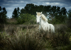 lone beauty (jody9) Tags: france provence whitehorse camargue