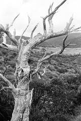 Cradle Mountain - Dead Tree (Milo R.) Tags: leica tree analog highlands kodak australia tasmania portra cradle dovelake cradlemountain gondwana