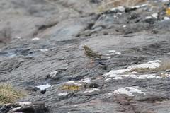 Rock pipit (richardblackburn1974) Tags: bird rock bay sanna ardnamurchan pipit