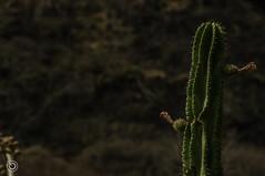 Cactus barranqueos (Braulio Gmez) Tags: guadalajara paisaje barranca gully caon huentitan barrancadehuentitan floresyplantas faunayflora barrancaoblatos barrancaguadalajara