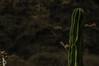 Cactus barranqueños (Braulio Gómez) Tags: barranca barrancaguadalajara barrancaoblatos barrancadehuentitan cañon faunayflora floresyplantas guadalajara huentitan paisaje gully cactus stenocereus