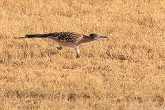 Rubino Greater Roadrunner running 20151206 Salton Sea CA 1586 (Ryan Rubino) Tags: ca sea field earth ground running greater asphalt jogging cuckoo roadrunner californian salton californianus sprinting geococcyx