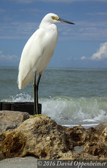 Naples, Florida Beach with Snowy Egret (Performance Impressions LLC) Tags: travel usa white bird beach heron coast waterfront realestate gulf unitedstates florida wildlife property shore naples splash egret snowyegret gulfshore egrettathula colliercounty linvest 13035494991