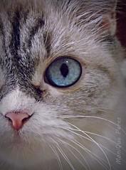 Gata. (MoniQue Peres) Tags: blue pet animal cat eyes feline blueeyes olhos gato gata felino estimao azuis olhosazuis