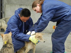 Senior Vet Nurse Wendy Leadbeater takes care of dogs with another colleague (Animals Asia) Tags: china nurse wendy animalsasia wendyleadbeater