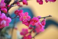 琳派紅梅-1 (nobuflickr) Tags: flower nature japan kyoto 日本 花 japaneseapricot ウメ prunusmume thekyotobotanicalgarden 京都府立植物園 awesomeblossoms バラ科サクラ属 20160114dsc08546