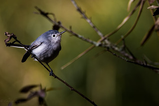 Blue-gray Gnatcatcher ( Polioptila caerulea  )