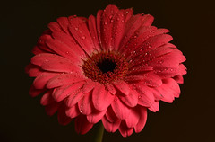 Gerbera Daisy (Explored - Thank-you!) (SonjaPetersonPh♡tography) Tags: flowers plants macro daisies daisy bloom gerberadaisies gerberdaisy gerberadaisy nikond5200 nikonafsmicronikkor40mm128g