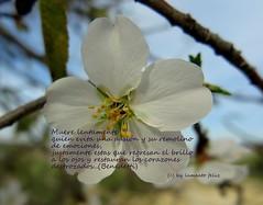 Restaurar corazones destrozados...(Benedetti: Muere lentamente...) (lameato feliz) Tags: almendro frase poema benedetti