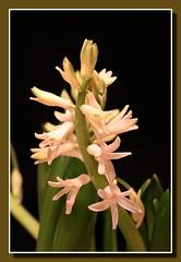 Hyazinthe (Hyacinthus) (p_jp55 (Jean-Paul)) Tags: flower fleur blume bloem hyacinthus hyazinthe