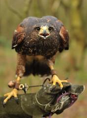 Ki (ukmjk) Tags: fly woods nikon hawk flight stare d750 harris nikkor staffordshire stoke 70200 ki vr weston coyney
