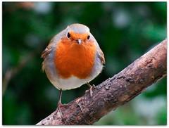 Red alert! (macfudge1UK) Tags: uk greatbritain winter portrait england bird nature robin closeup fauna europe erithacusrubecula wildlife gb perch s1 oxfordshire avian oxon 2016 behaviour britishbirds finepixs1 fujis1 britishbird allrightsreserved goldwildlife weirdbehaviour naturethroughthelens bbcwinterwatch rspbgreenstatus fujifilmfinepixs1 fujifinepixs1