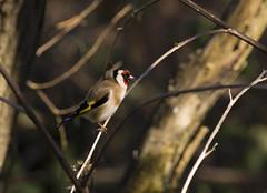 Chardonneret lgant (JFB31) Tags: cardueliscarduelis europeangoldfinch chardonneretlgant fringillids passriformes