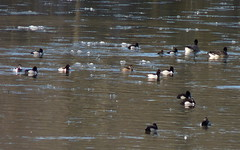 Ring-necked Ducks (Dendroica cerulea) Tags: winter bird birds river duck newjersey nj aves ringneckedduck waterfowl aythya johnsonpark piscataway aythyacollaris raritanriver anatidae anseriformes middlesexcounty aythyinae neognathae galloanserae