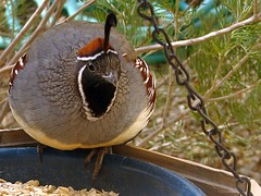 Gambel's Quail (Callipepla gambelii), male, daily visitor at the window feeder. (troupial) Tags: quail gambelsquail arizonabirds birdsofarizona pimacounty pimacountyarizona