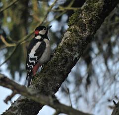 l'apache (laetitiablableuse) Tags: world france tree bird nature animal burgundy awesome pic bourgogne arbre oiseau yonne epeiche