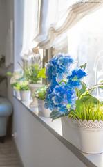 Buenos das Hortensia (Iigo PdC) Tags: espaa flores luz familia canon ventana viajes 7d ef2470mmf28lusm hortensia 2016 vila palaciodevalderrbanos iigopdc