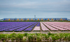 It fits! (VTZK) Tags: pink flowers light netherlands dutch rose train fleurs purple tulips ns siemens zug railways chemin bloemen slt trein fer tulpen roze spoorwegen paars bombardier zuidholland tulipes sprinter nederlandse blüme hillegom purpre