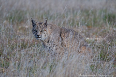 Male Bobcat (fascinationwildlife) Tags: california winter wild usa male nature animal america cat mammal feline wildlife natur central rufus valley elusive bobcat lynx luchs rotluchs