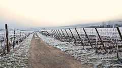 Perspective givre  -  Covered in frost perspective (Philippe Haumesser Photographies) Tags: winter france cold fog outside reflex vineyard nikon frost wine path hiver alsace vignes vignoble froid brouillard chemin elsass givre wines 2016 d7000 nikond7000