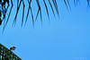 B E M - T E - V I (Caio Betto) Tags: verde azul bemtevi natureza passarinho macapá bentivi