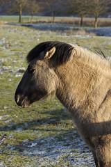 Konik-Pferde - 2016-002_Web (berni.radke) Tags: horse pferd konik konikhorses olfen steverauen konikpferde