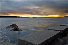 Taking Flight (HereInVancouver) Tags: ocean sunset canada vancouver flying bc seagull urbannature englishbay stanleypark secondbeach freighters