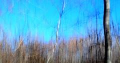 Ti amo (zventure, off/on) Tags: wood abstract france nature landscape hiver ombre bleu arbres paysage extrieur arbre impression fort flou bois feuilles lignes fleuve fil abstrait alpesmaritimes herbes buissons saintlaurentduvar hautelumire fleuvecotier bordsduvar