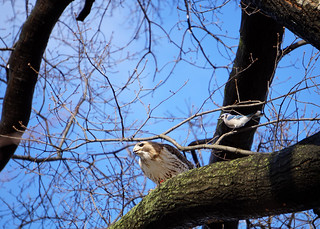 20160205 red tailed hawk with prey, staring down blue jay