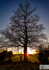 Mighty Oak (Rob Felton) Tags: trees light sunset sky tree garden bedford oak ray glow bedfordshire sigma felton rays oaktree goldenhour quercusrobur cardington robertfelton eos7d