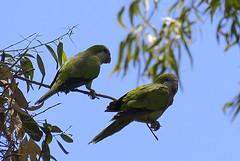 Cotorras reunidas. (jagar41_ Juan Antonio) Tags: animal aves ave animales loro cotorra loros