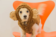 IMG_3389 (yukichinoko) Tags: dog dachshund 犬 kinako ダックスフント ダックスフンド きなこ