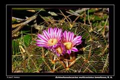 Echinofossulocactus multicostatus var. lamellosus (Sphenodiscus) Tags: cactus cacti coahuila suculent stenocactus ramosarizpe echinofossulocactusmulticostatusvarlamellosus