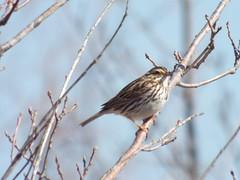 Savannah Sparrow, February 13, 2016 (gurdonark) Tags: park bird birds texas allen wildlife lakes bethany sparrow savannah
