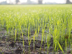 Rice Field Northeast Thailand Isaan Esarn - Reisfeld Nordosten (hn.) Tags: copyright green field rural thailand countryside drops waterdrop asia asien heiconeumeyer seasia soasien southeastasia sdostasien wasser rice paddy farming feld reis drop dew droplet growing tau grn agriculture waterdrops ricefield northeast ricepaddy cultivation morningdew reisfeld isaan paddyfield wassertropfen tropfen anbau isan copyrighted upcountry morgentau esan issan ricecultivation trpfchen sisaket lndlich esarn northeastthailand isarn ricegrowing nordost ricefarming beadsofdew youngrice nordosten issarn newrice reisanbau pearlsofdew wassertrpfchen sisaketprovince nordostthailand upcountrythailand khunhan chanwatsisaket provincialthailand jungerreis neuerreis tp201516
