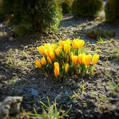 INSTAGRAM 365 Day 71: Crocus (tomas_nilsson) Tags: instagram365 sweden staffanstorp flowers tiny crocus yellow signofspring spring sunshine cellphonephotography lg g4 snapseed postprocessing